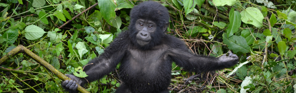 Our closest relatives live in the african fore